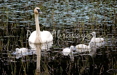 08-06-28_Swans-Haines Hwy_0002-572122012-O