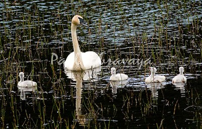 08-06-28_Swans-Haines Hwy_0005-572122038-O