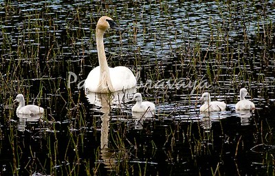 08-06-28_Swans-Haines Hwy_0006-572122057-O