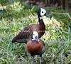 White-Faced Tree Duck BrdPrk_0-572130712-O