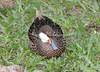 White-Cheeked Pintail_06-08-12-572124877-O