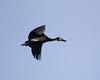 WhiteFacedWhistli OkavangoDelta_14-03-11__O6B1865