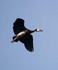WhiteFacedWhistli OkavangoDelta_14-03-11__O6B1864