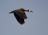 WhiteFacedWhistli OkavangoDelta_14-03-11__O6B1867