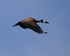 WhiteFacedWhistli OkavangoDelta_14-03-11__O6B1866