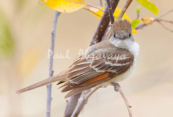 Ash-throated Flycatcher_Ojai_0-572512600-O