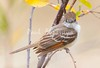 Ash-throated Flycatcher_Ojai_0-572512600-O