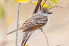 Ash-throated Flycatcher_Ojai_0-572512642-O
