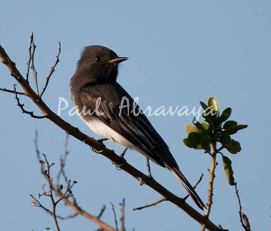 BlackPhoebe (8)-1101003170-O