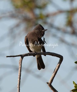 BlackPhoebe (6)-1101003102-O
