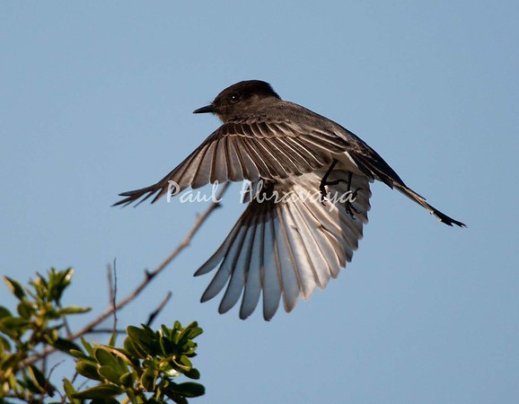 BlackPhoebe (1)-1101002988-O