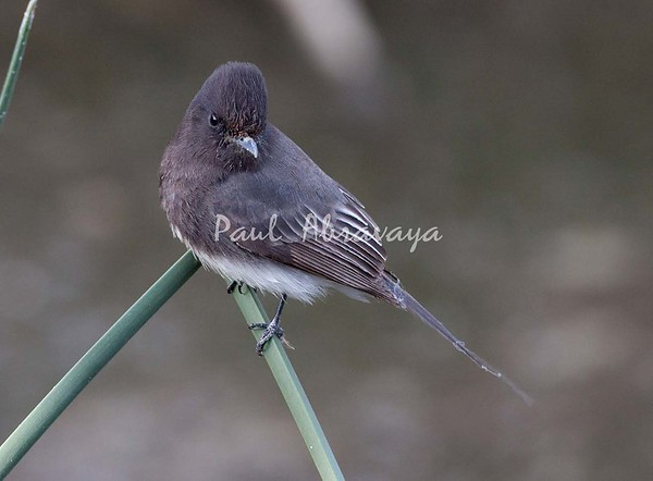 Black Phoebe Ormond_07-11-28_0-572242181-O