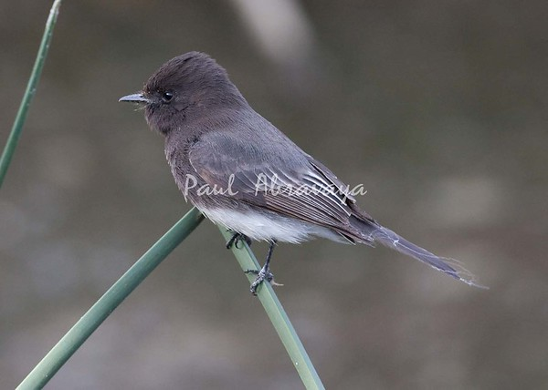 Black Phoebe Ormond_07-11-28_0-572242243-O