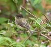 BlkCapFlycatch Savegre_09-11-1-786478012-O