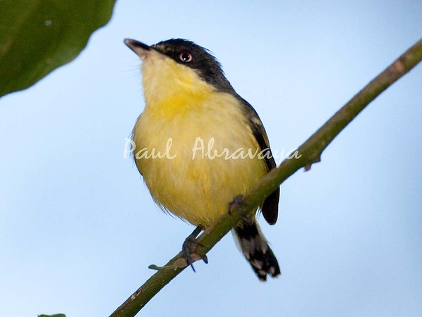 CommonTodyFlycatcher_FBuenaVis-572247961-O