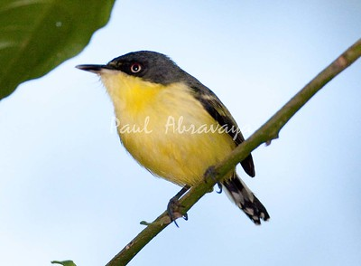 CommonTodyFlycatcher_FBuenaVis-572248007-O