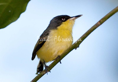 CommonTodyFlycatcher_FBuenaVis-572247922-O