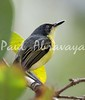 b-CommonTodyFlycatcher_FBuenaV-572247897-O