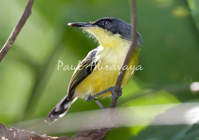 CommonTodyFlycatcher_FBuenaVis-572248042-O