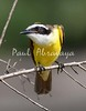 Great Kiskadee_07-08-16_0002-572267313-O