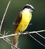 Great Kiskadee_07-08-16_0009-572267335-O
