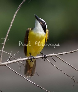 Great Kiskadee_07-08-16_0003-572267321-O