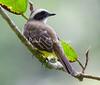 Social Flycatcher_07-08-19_001-572306640-O