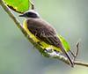 Social Flycatcher_07-08-19_000-572306590-O