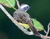 Social Flycatcher_07-08-19_000-572306569-O