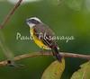 Social Flycatcher_07-08-19_000-572306557-O