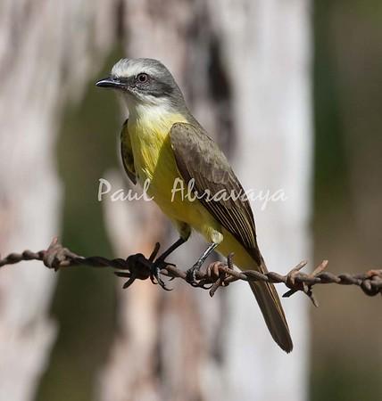 TropicalKingbird_FBuenaVistaCo-572396485-O
