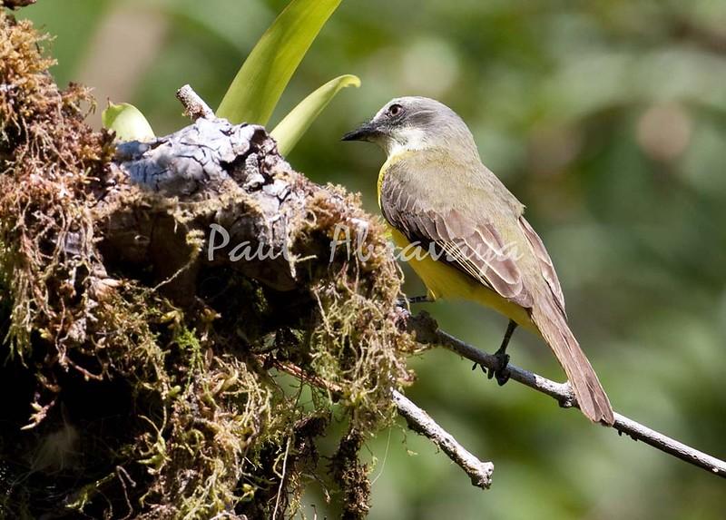 Tropical-Kingbird FBuenaVista_-572396457-O