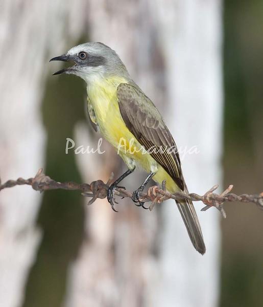 TropicalKingbird_FBuenaVistaCo-572396500-O