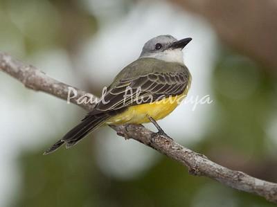 TropicalKingbird Tambor_09-11--786417489-O