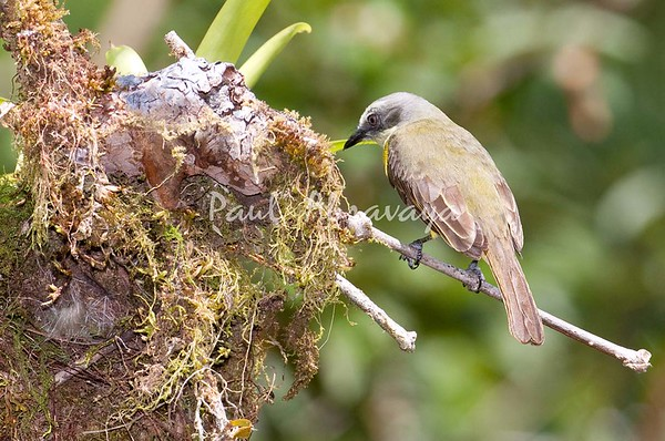 Tropical-Kingbird FBuenaVista_-572396429-O