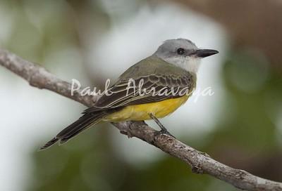 TropicalKingbird Tambor_09-11--786417536-O