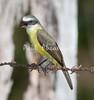 TropicalKingbird_FBuenaVistaCo-572396518-O