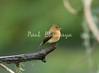 TuftedFlycatcher Savegre_09-11-786902149-O