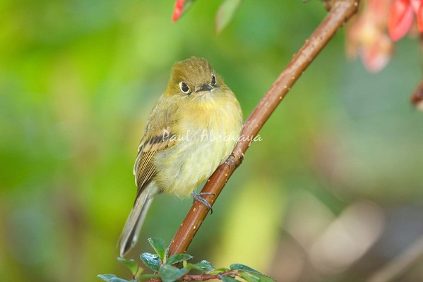 YellowishFlycatcher Savegre_09-786554320-O