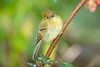 YellowishFlycatcher Savegre_09-786554012-O