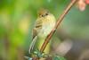 YellowishFlycatcher Savegre_09-786554012-O