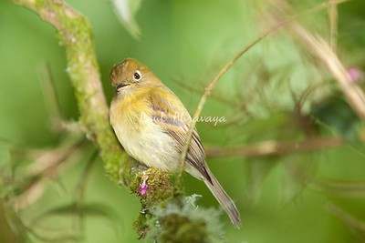 YellowishFlycatcher Savegre_09-786552356-O