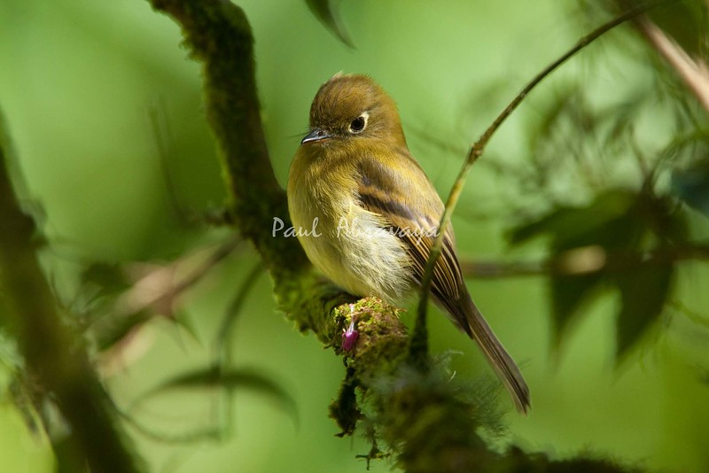 YellowishFlycatcher Savegre_09-786552950-O