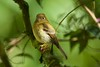 YellowishFlycatcher Savegre_09-786552649-O
