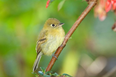 YellowishFlycatcher Savegre_09-786554935-O