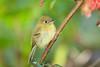 YellowishFlycatcher Savegre_09-786554935-O