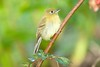YellowishFlycatcher Savegre_09-786555214-O
