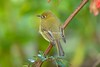 YellowishFlycatcher Savegre_09-786556576-O