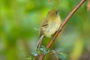 YellowishFlycatcher Savegre_09-786556033-O