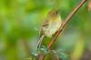 YellowishFlycatcher Savegre_09-786556033-O